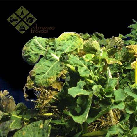 Oilseed Rape Growth Time-Lapse