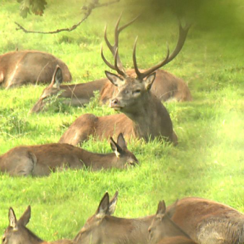 camera shot of red deer