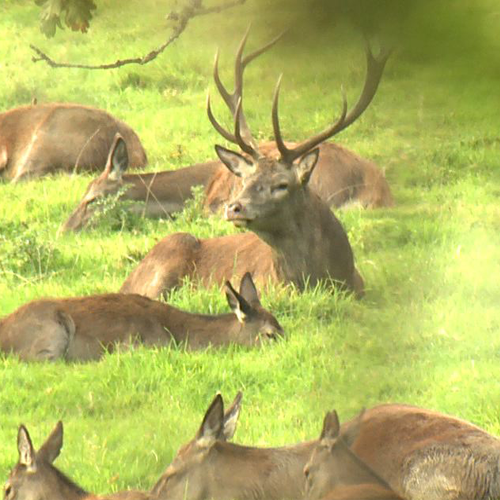 Red Deer Rut on Exmoor 2015