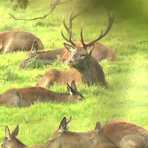 Red Deer Rut on Exmoor 2015